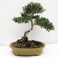 European Olive Is Complimented by a Yellow Glazed Tokoname Pot. (WEB724) FREE SHIPPING