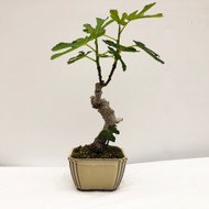 """Small Ficus """"Carica"""" Fig with Edible Fruit In Glazed Ceramic Pot. (WEB731) FREE SHIPPING"""