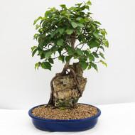 Root-Over-Rock Korean Hornbeam In Japanese Glazed Ceramic Pot. (WEB732) FREE SHIPPING