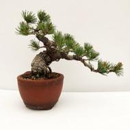Japanese White Pine - Five Needle Pine (WEB734) in Yixing Bonsai Pot - FREE SHIPPING