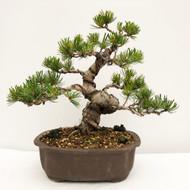 Japanese White Pine - Five Needle Pine (WEB735) in Yixing Bonsai Pot - FREE SHIPPING