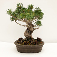 Japanese White Pine - Five Needle Pine (WEB736) - FREE SHIPPING