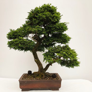 Nice Twin Trunk Hinoki Cypress with Tight Foliage and Aged Bark.  (WEB737) - FREE SHIPPING