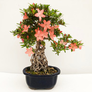 Imported Exposed Root Satsuki Azalea (web755) - FREE SHIPPING