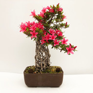 Imported Exposed Root Satsuki Azalea (web756) - FREE SHIPPING
