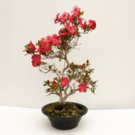 Elegant Twin Trunk Imported Satsuki Azalea in Sam Miller Pot (web758) - FREE SHIPPING