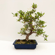 Balanced and Graceful Imported Satsuki Azalea (web759) - FREE SHIPPING