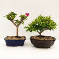 Flowering Duo #2. Water Jasmine and Pixie Bougainvillea.  (WEB741) FREE SHIPPING