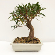 Fat Trunk Willow Leaf Ficus in Glazed Japanese Pot.  (WEB742) FREE SHIPPING