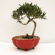 Funky Trunk Willow Leaf Ficus in a Fun Red Glazed Pot.  (WEB743) FREE SHIPPING