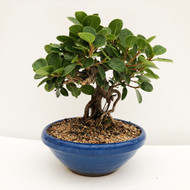 Shohin Size Green Island Ficus with Fantastic Air Roots.  (WEB746) FREE SHIPPING