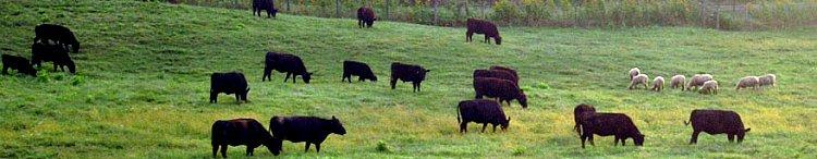 briarmead-cow-banner.jpg