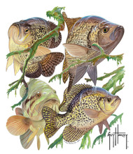 Guy Harvey Crappie Window Decal