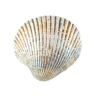 "4220.M - Clam Shell, Magnet, Medium (5.5cm / 2.2""), Each"