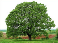 5 Towering Oaks and How They Are Used