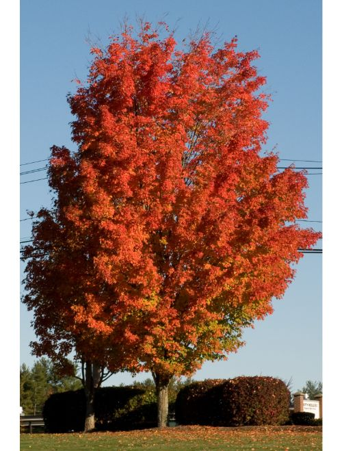 Sugar maple trees for sale lowest prices online save 80 for Maple trees for sale