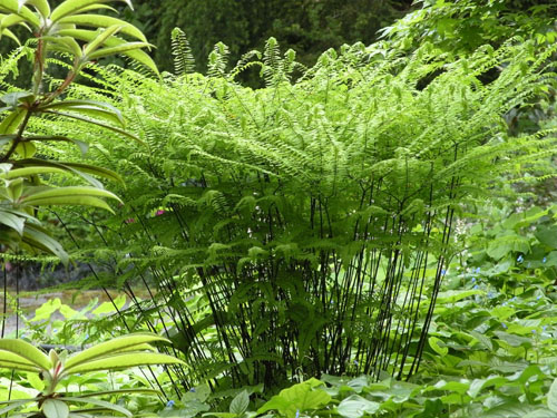 ferns for sale