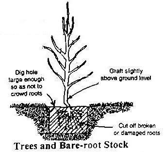 bare-root-drawing.jpg