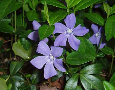 Perennial Plant are great evergreen groundcovers