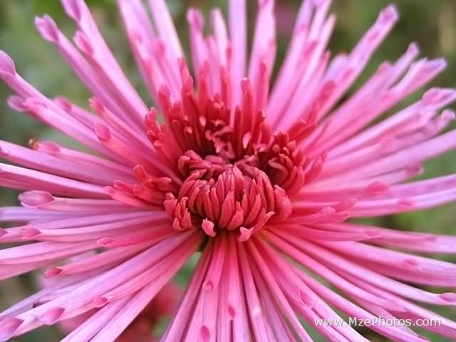 November Birth Flower Chrysanthemum Oak Farms Flower Outlet Inc