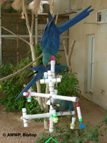 lear-s-macaw-with-kitchensink-birdtoy-bishop-02-hr.jpg
