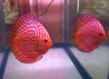 """Bold Red Universe Discus Fish"" Breeder Pair"