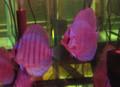Purple Cobalt Discus Fish 2 inch