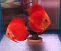 Marlboro Super Red Discus Fish - Breeder Pair
