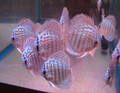 German Turquoise Discus Fish  2.5 inch