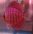 Diamond Leopard Discus Fish  3 inch