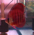 Red Rose Discus   2 inch