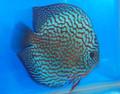Altum Flora Red Turquoise Discus Fish  2.5 inch
