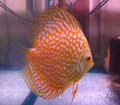 Yellow Checkerboard Discus Fish  3 inch