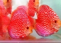 """Red Panda Discus Fish"" 2 inch"