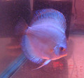 Blue Diamond Discus Fish 4 inch