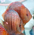 Wild Red Spot Green Discus Fish  2.5 inch