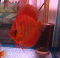 Maroon Red Discus Fish  2.5 inch