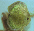 Snake Skin Discus Fish   3 inch