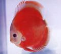 San Merah Discus Fish  3 inch
