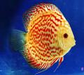 Saffron Spotted Discus Fish  3 inch