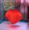 Red Ruby Discus  - Breeder Pair