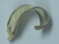 Plathhelminthes