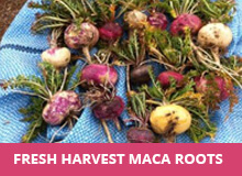 fresh-harvested-maca-roots.jpg