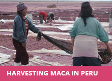 harvesting-maca-in-peru.jpg