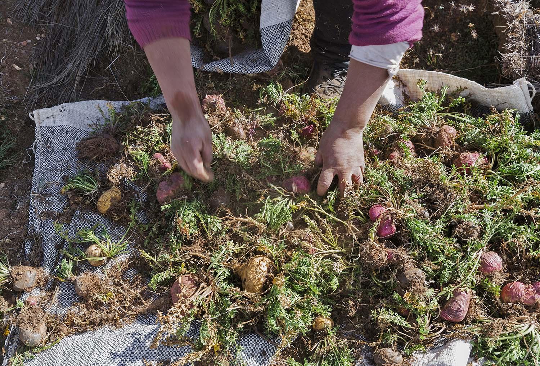 Harvesting Maca Roots
