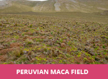 peruvian-maca-field-1.jpg