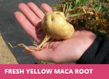 what-is-maca