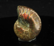 Opalised Ammonite 14