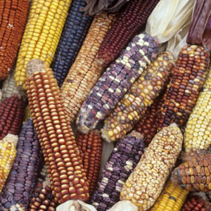 zea mays is a natural makeup ingredient