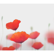 Poppy magnet set